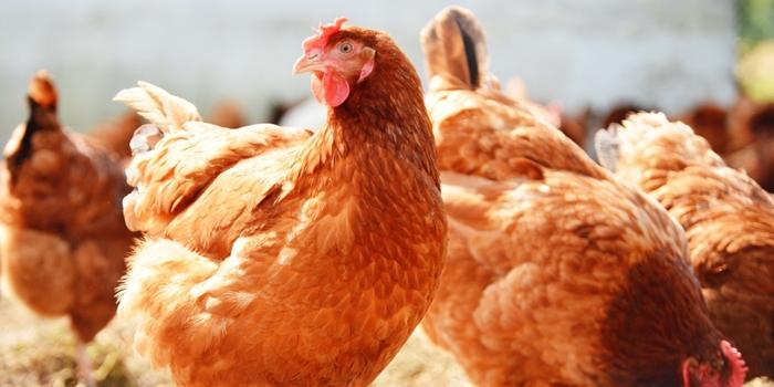 galinha-poedeira-portalmoznews